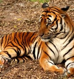 tiger diagram labled [ 3210 x 2500 Pixel ]