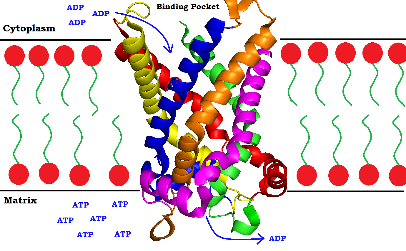 File Atp Adp Translocase Side View W Drawn Over