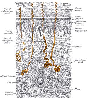 Eccrine sweat gland  Wikipedia