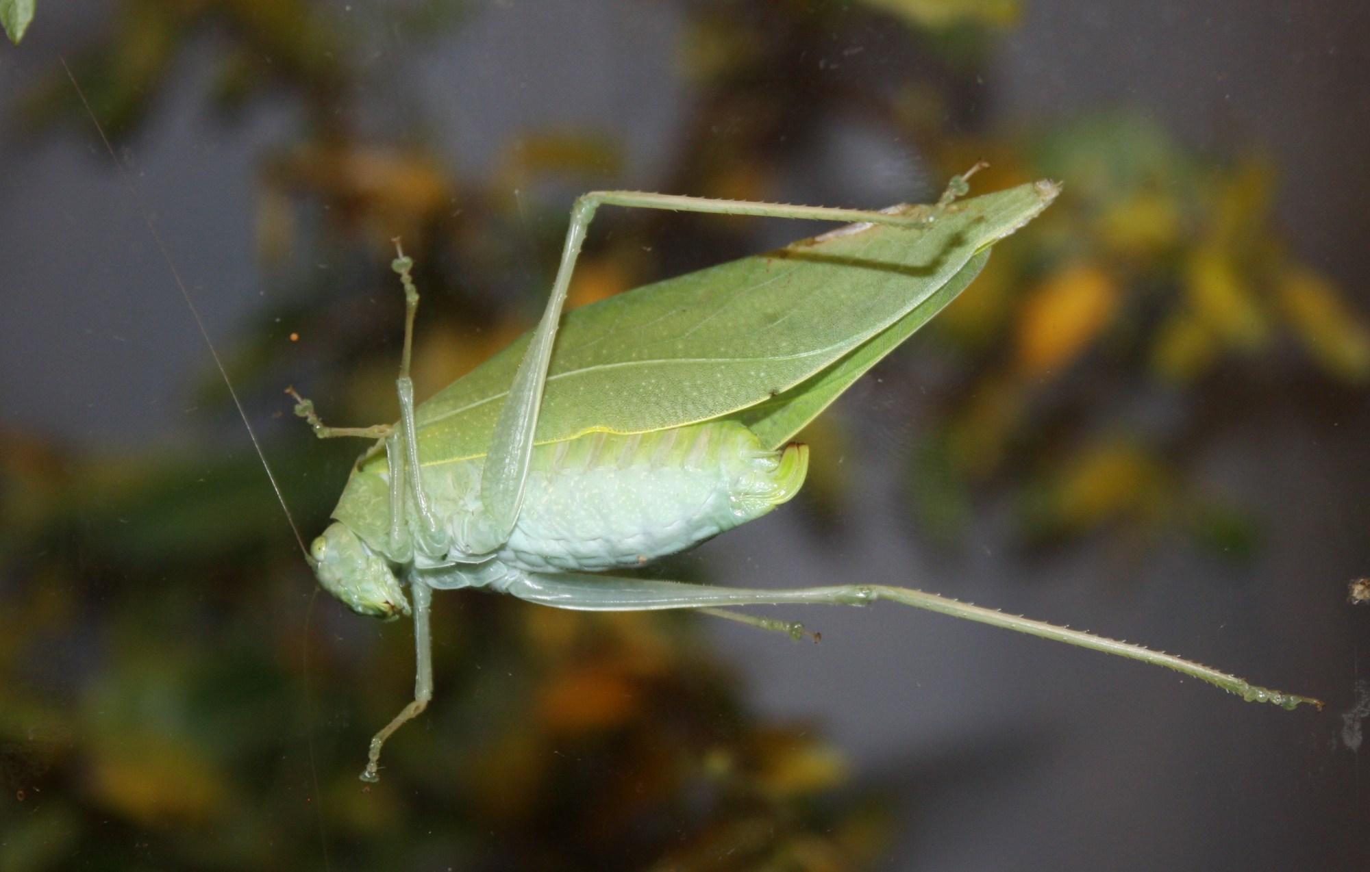 hight resolution of katydid diagram