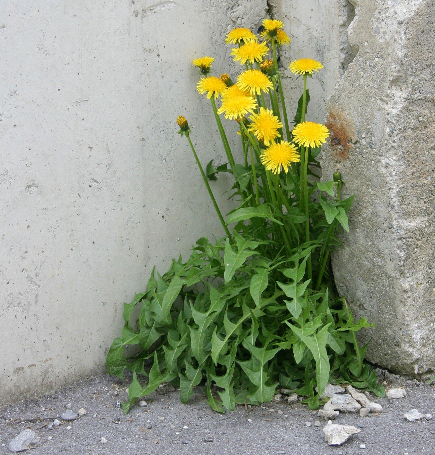 foto van een Paardenbloem