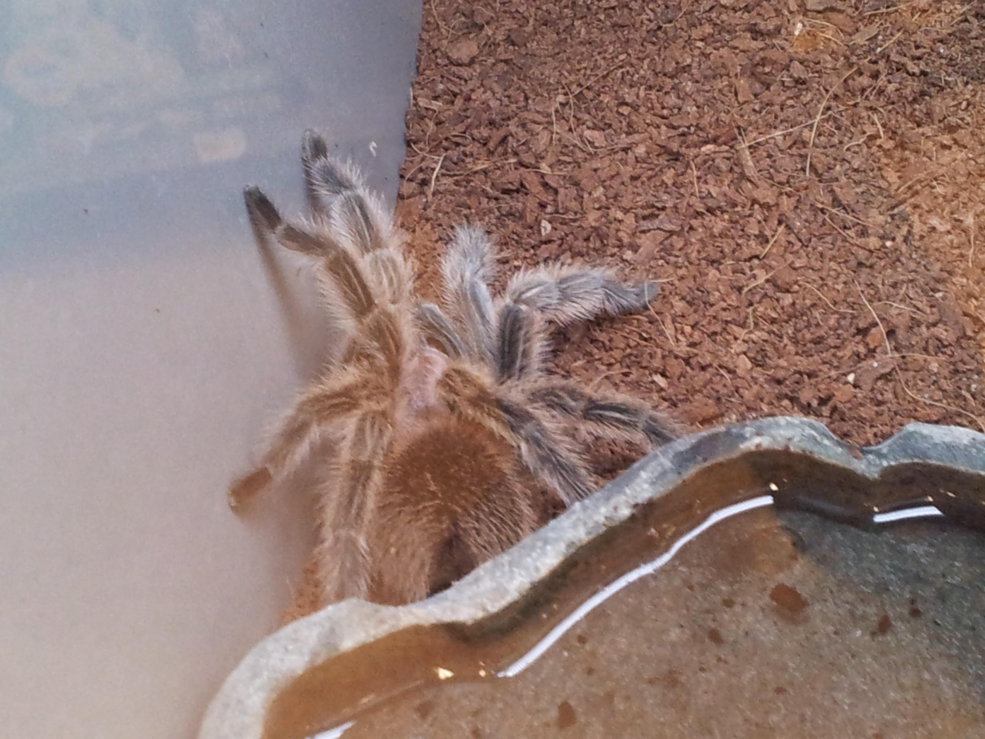 file rose hair tarantula