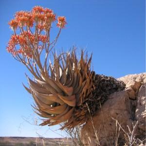 Aloe hereroensis  Wikipedia