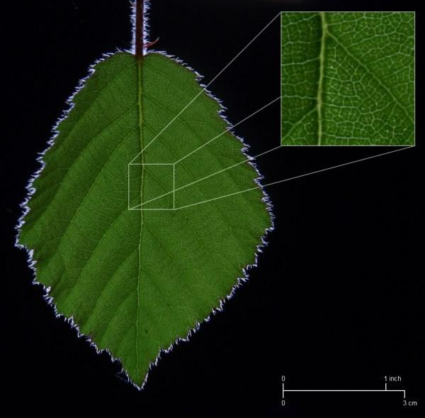 Wiki Leaf - Upcscavenger