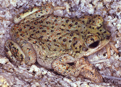Redspotted toad  Wikipedia