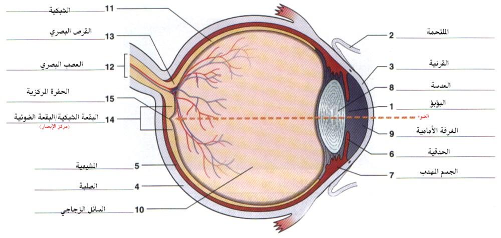medium resolution of file eye anatomy jpg