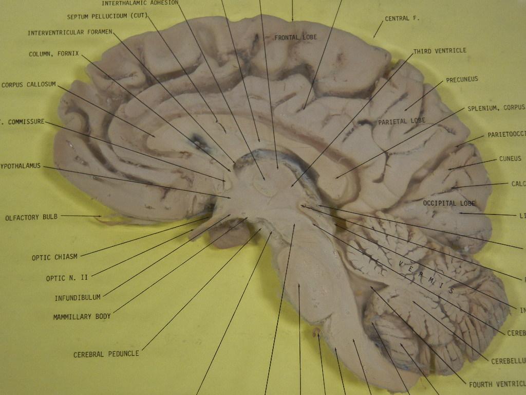 File Human Brain Sagittal Section