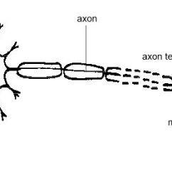 Nerve Cell Diagram Blank Ac Lighted Rocker Switch Wiring Sketch And Label A Single Motor Neuron - Impremedia.net