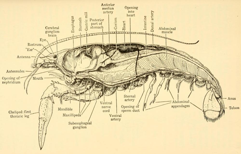 medium resolution of crayfish diagram