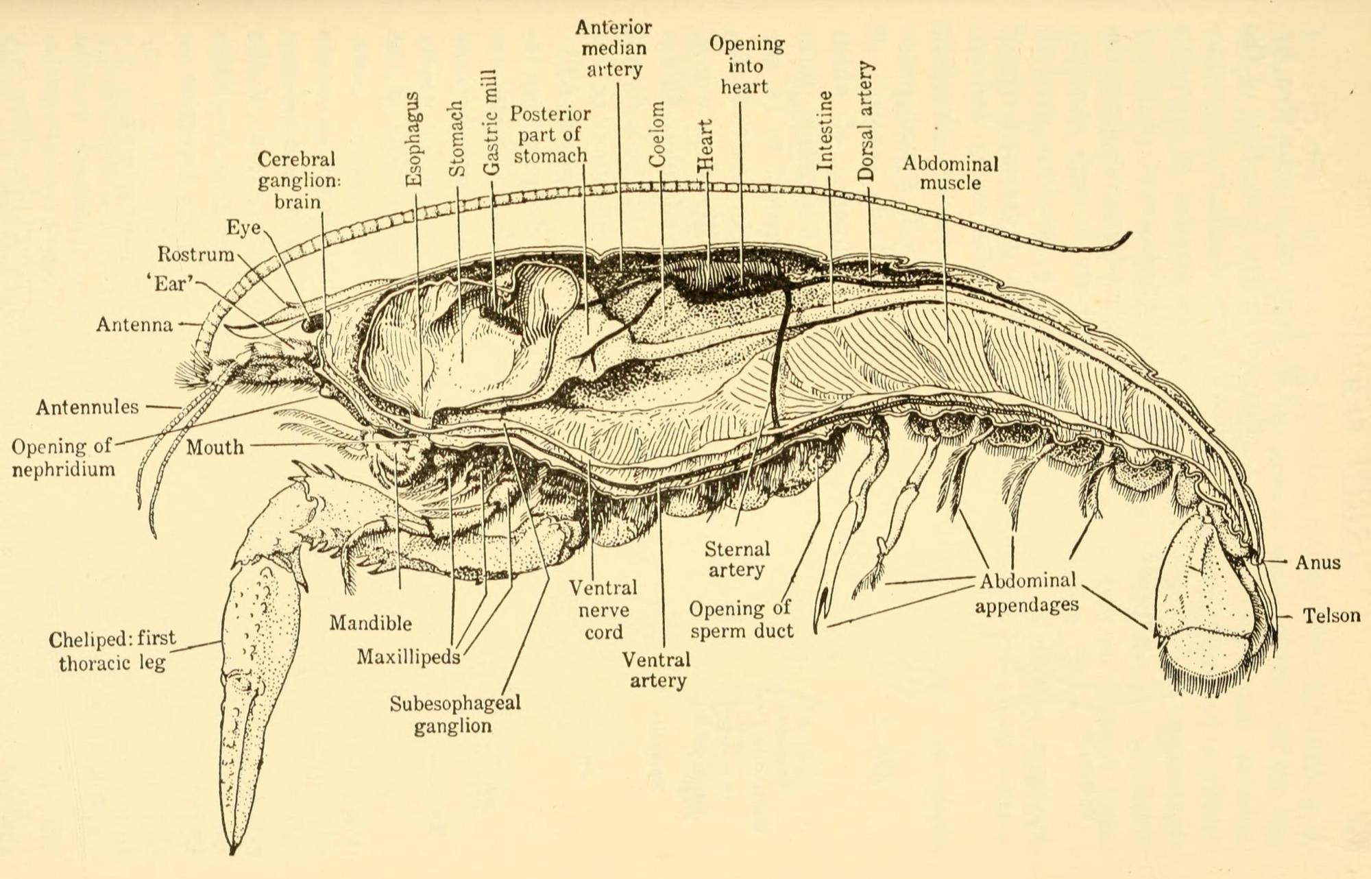 hight resolution of crayfish diagram