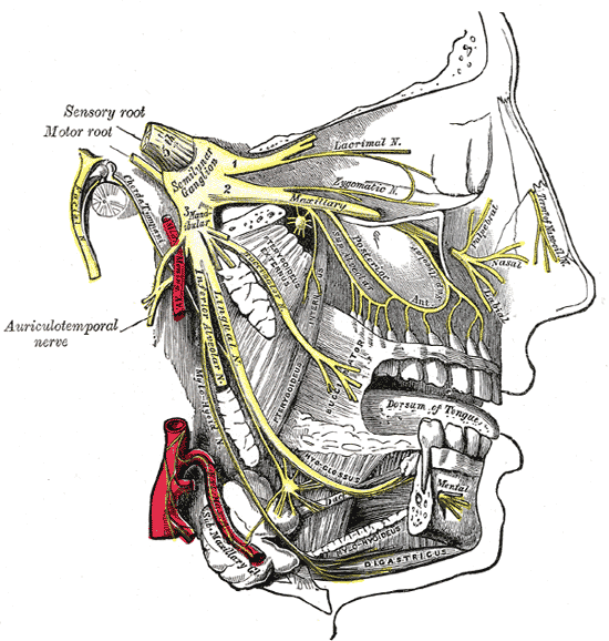 Diagram from Gray's Anatomy showing the trigeminal nerve, which carries signals between the brain and most parts of the face (click to embiggen)