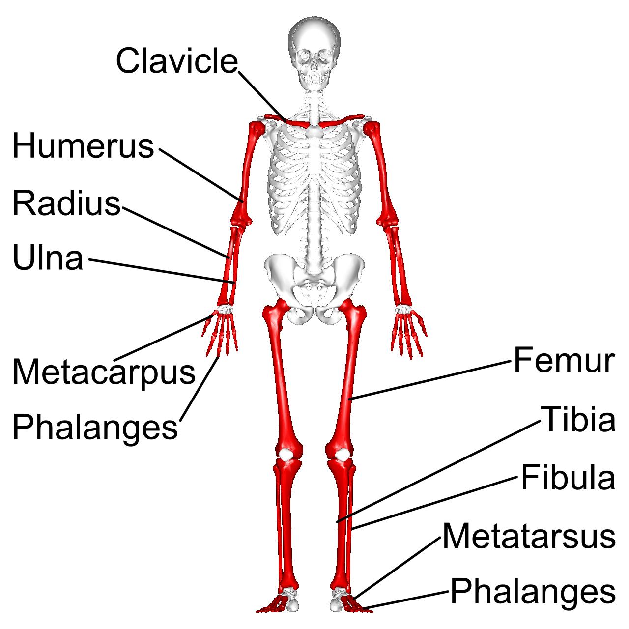 File Long Bones