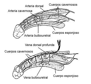 Figura 1. Las arterias (arriba) y venas (abajo) penetran en los cuerpos cavernosos y el cuerpo esponjoso, que son cavidades largas que se ubican a lo largo del pene. La erección ocurre cuando los pequeños músculos de las arterias permiten que los cuerpos cavernosos se llenen de sangre, mientras que otros músculos de las venas bloquean el drenaje de la misma.