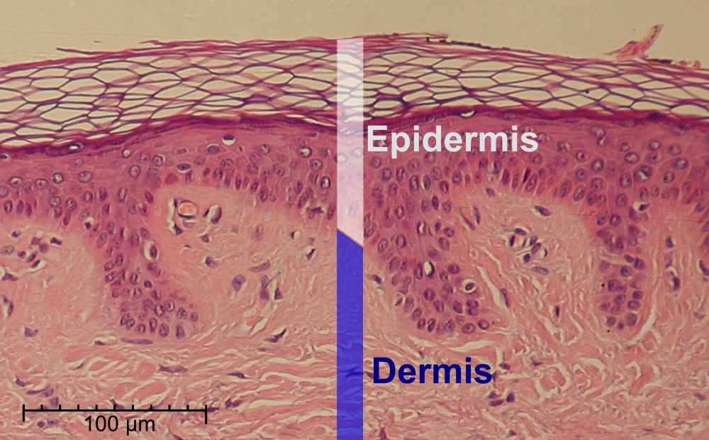 skin layers diagram labeled simple corn seed structure epidermis wikipedia