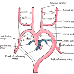 Cow Circulatory System Diagram Home Automation Wiring Aortic Arches - Wikipedia
