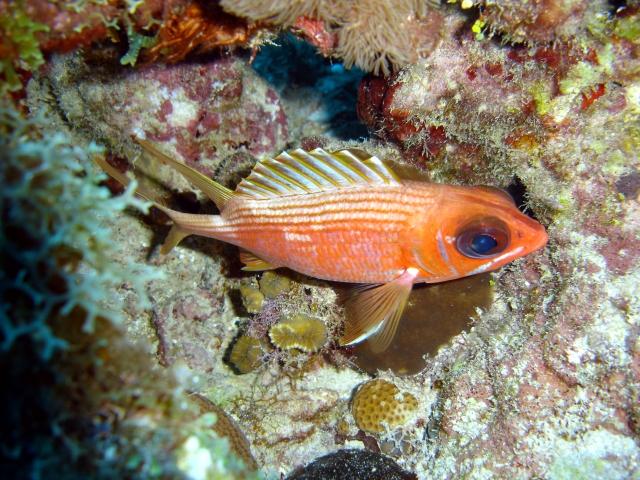longspine squirrelfish wikipedia