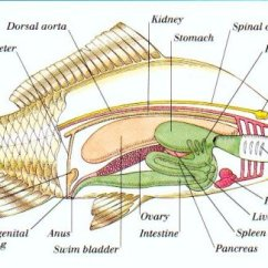Water Cycle Diagram Without Labels Whirlpool Front Load Washer Wiring Fish Anatomy - Wikipedia