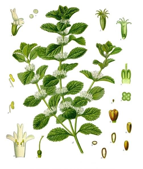 Les plantes m dicinales int r t pour tous for Plante pour tous