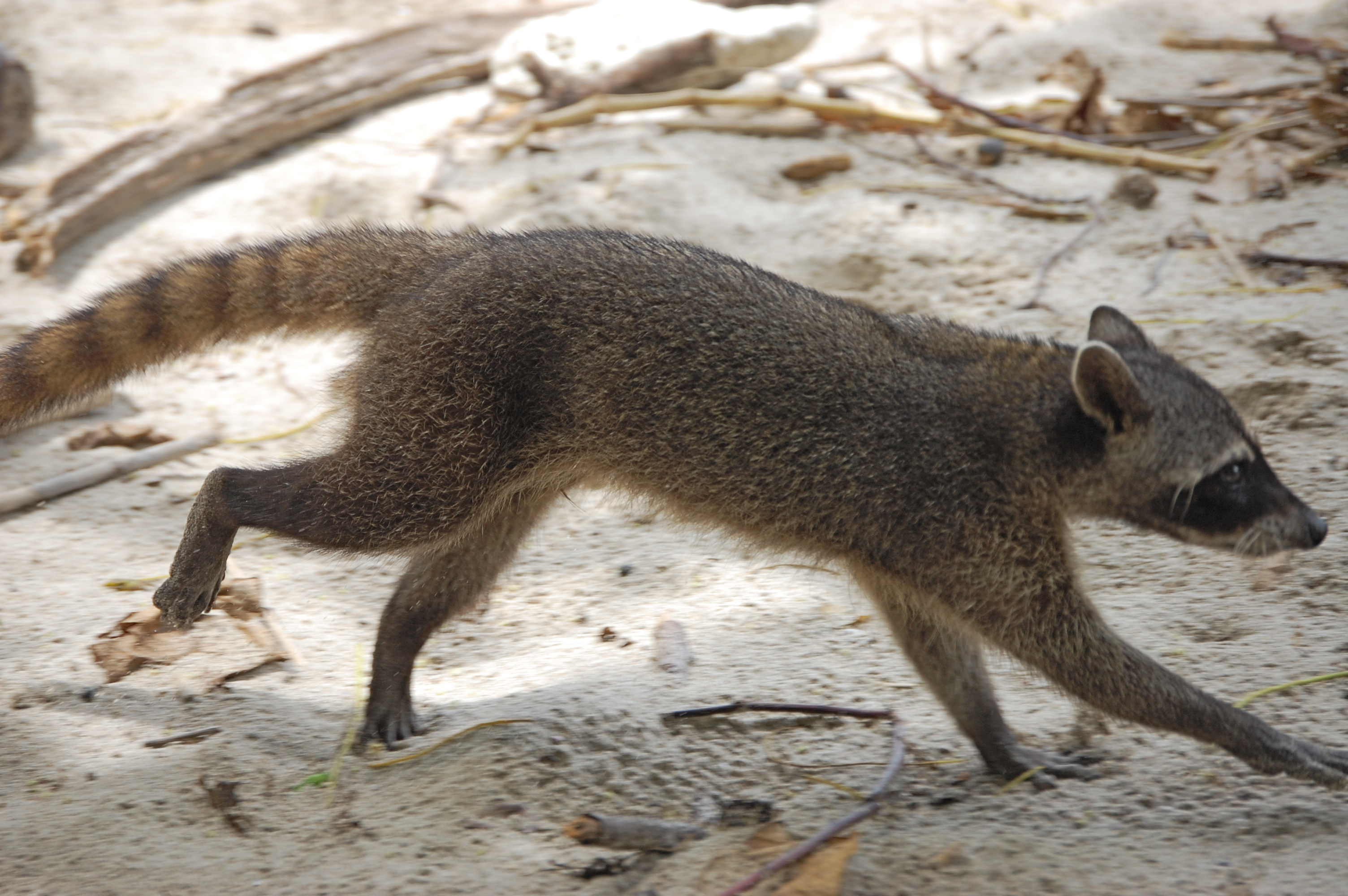 Crab-eating raccoon (Procyon cancrivorus) in Manuel Antonio National Park, Costa Rica. By Steven G. Johnson