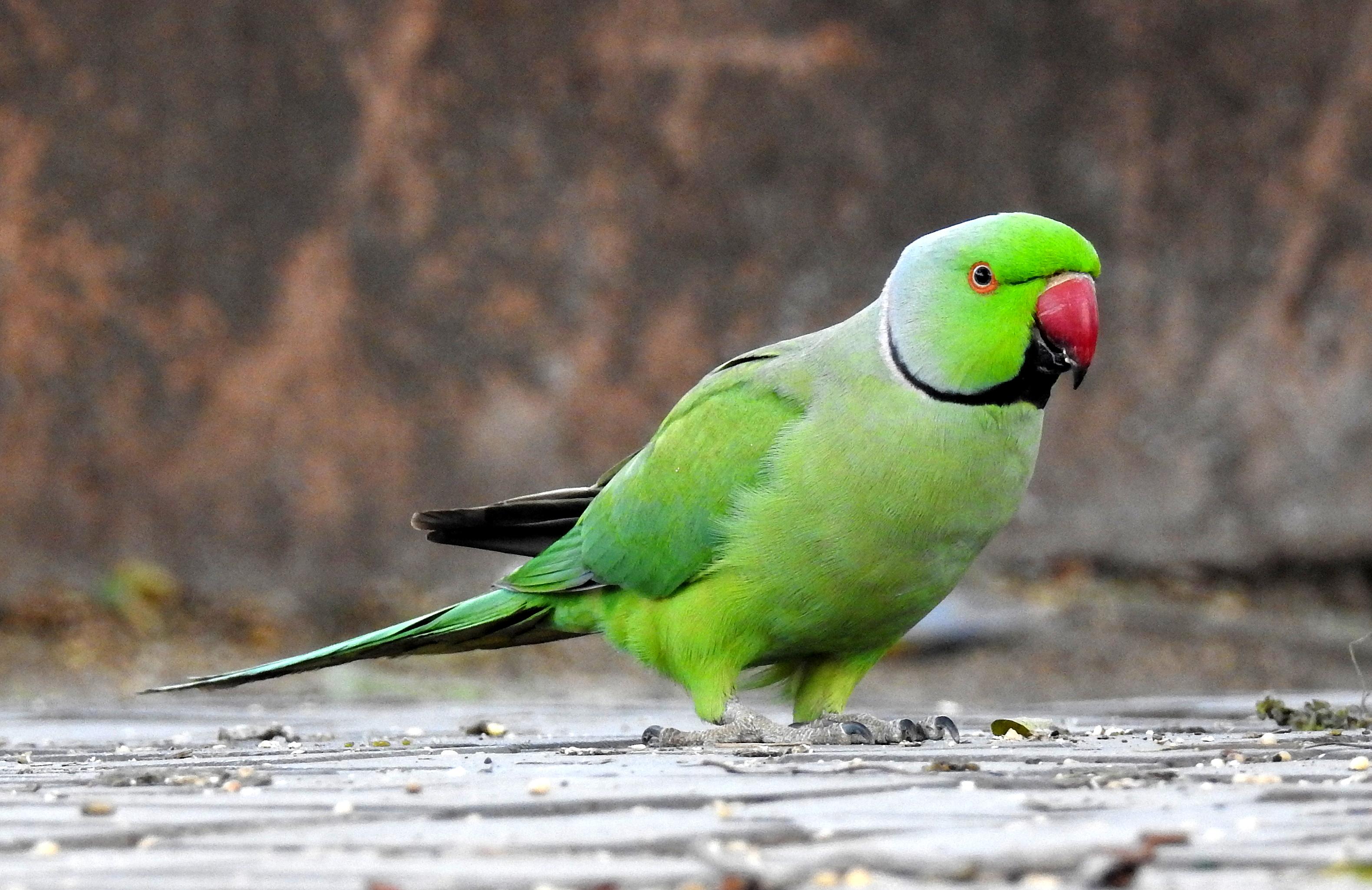 rose ringed parakeet wikipedia