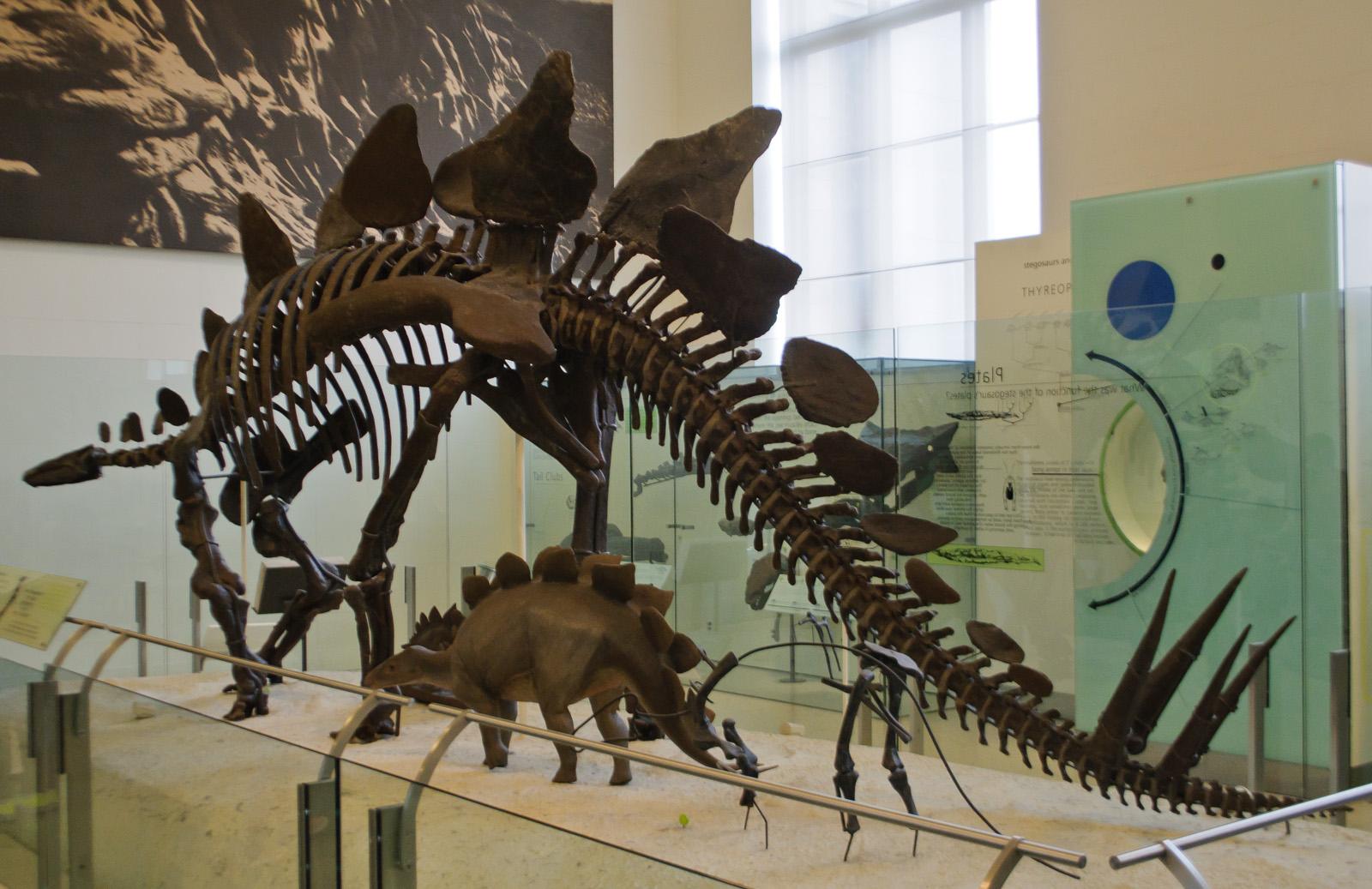 Dinogoss The Evolving View Of Stegosaurus