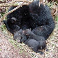 Black Bear mother and cubs in den,, hibernating