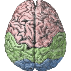 Right Lateral Brain Diagram Usb To Ps2 Wiring Lateralization Of Function - Wikipedia