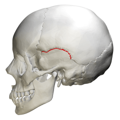 Lateral View Skull Sutures Diagram Waterfall Formation File Squamosal Suture Png