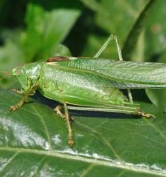 tettigoniidae [ 3984 x 2848 Pixel ]