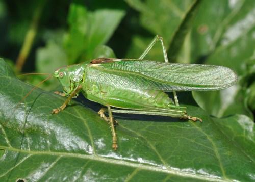 small resolution of tettigoniidae