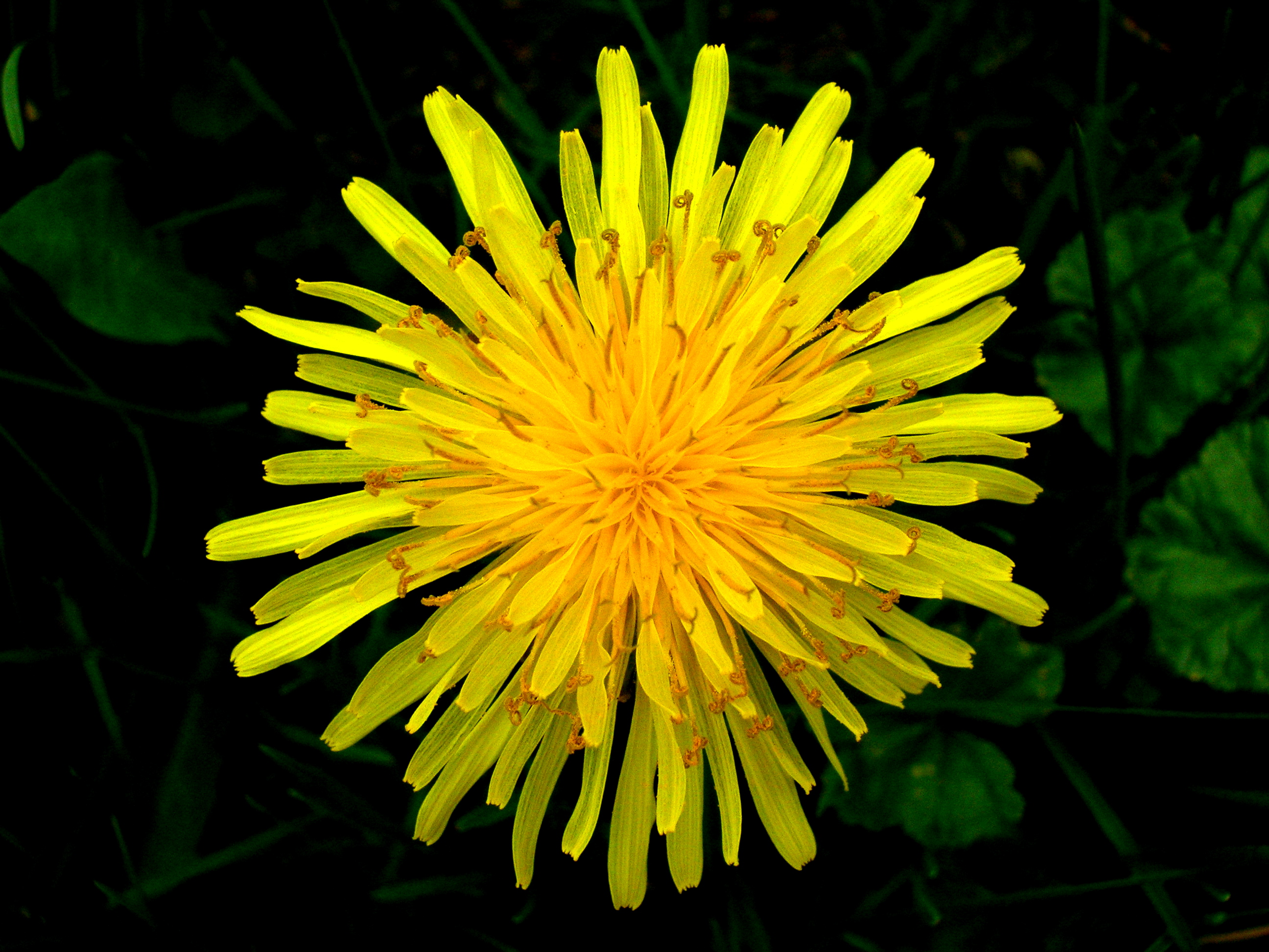 Dandelion tea obliterates cancer cells Top_view_of_a_dandelion