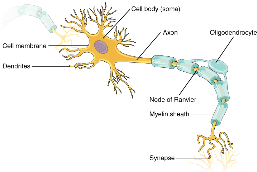 labelled diagram of nerve cell hotpoint aquarius wiring neurons boundless psychology located at http upload wikimedia org wikipedia commons 8 86 1206 the neuron jpg