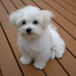 Maltese Dog Wikipedia