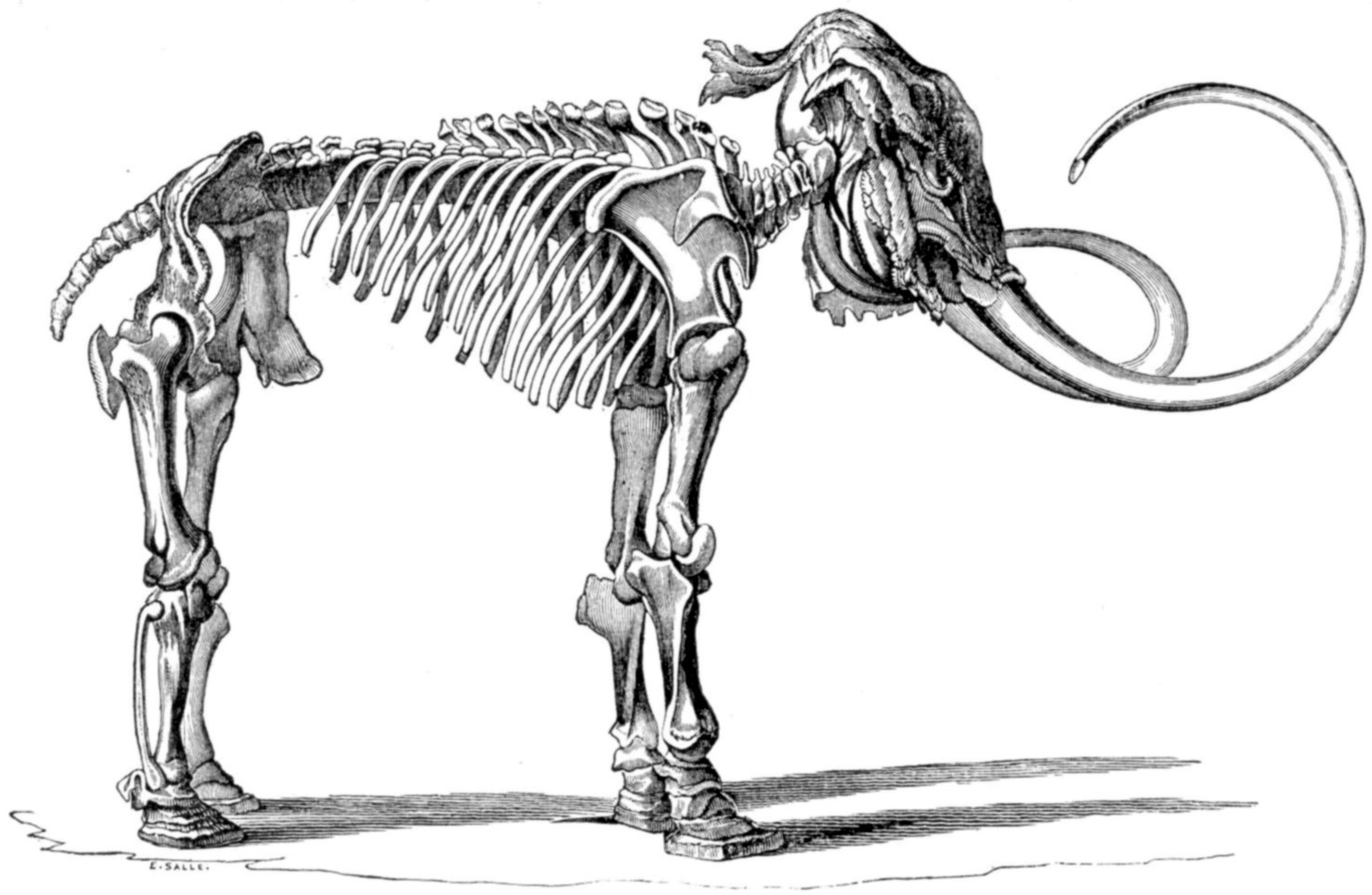 Near complete woolly mammoth skeleton found near Paris