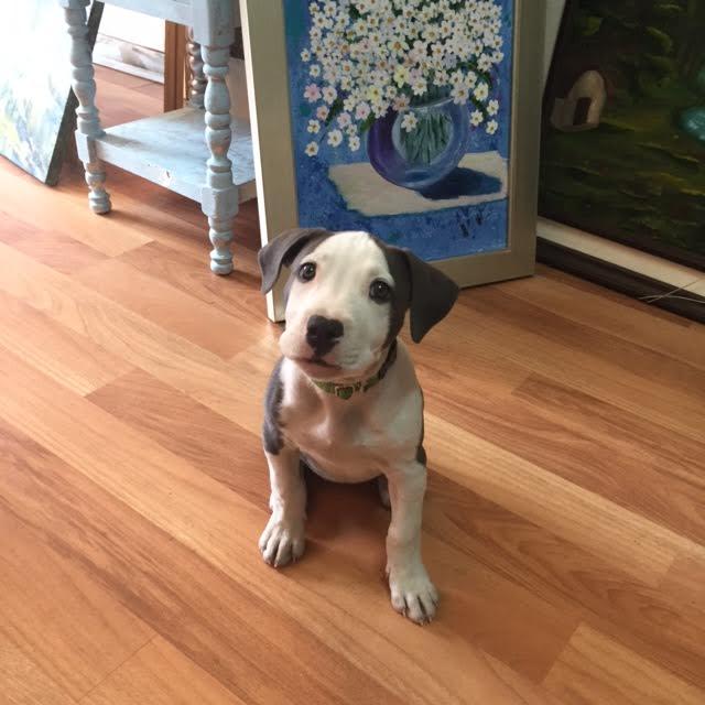 %28Pit Bull%29%2C %28pitbull%2C dog%29 beautifull precious amazing %28female puppy in south america%29 Girl Pitbull Dogs