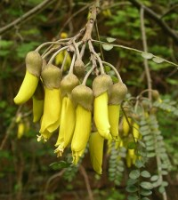 kowhai flowers (sophora)