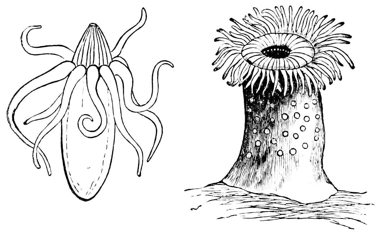 File Psm V06 D182 Sea Anemones