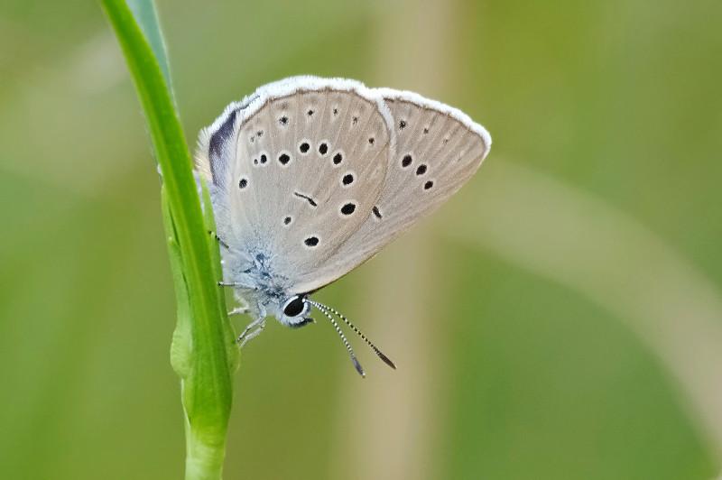 Pimpernelblauwtje  Wikipedia