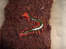 Chinese Art Red Headed Centipede - Year of Clean Water