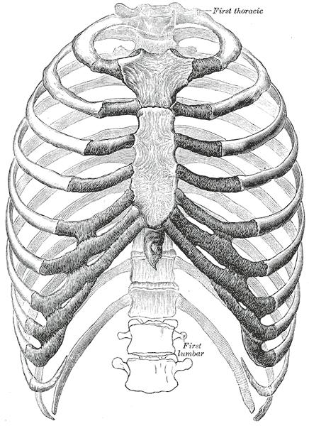 Rib Cage Anatomy Posterior : anatomy, posterior, Wikipedia
