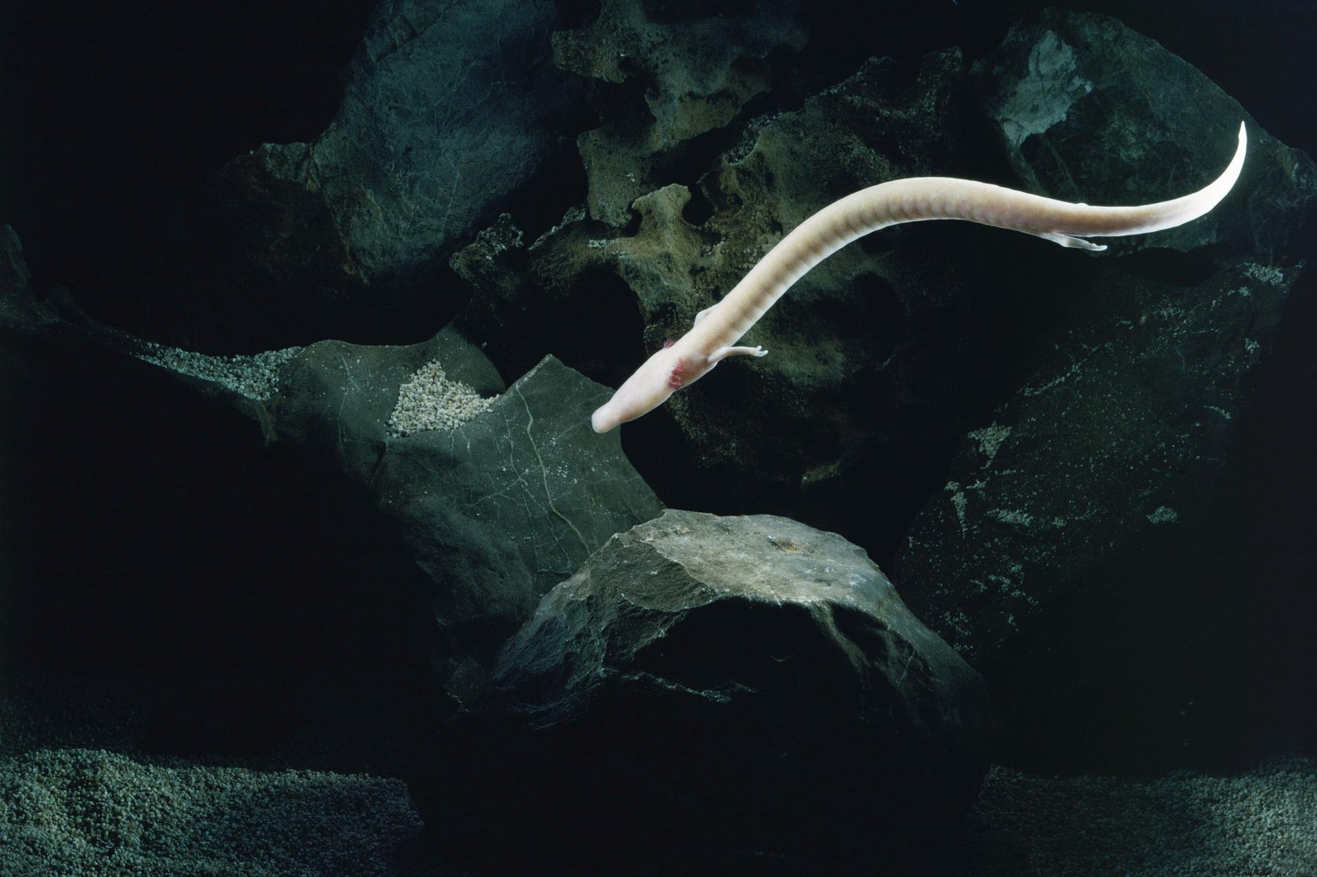 Olm (Proteus anguinus) in its natural habitat.