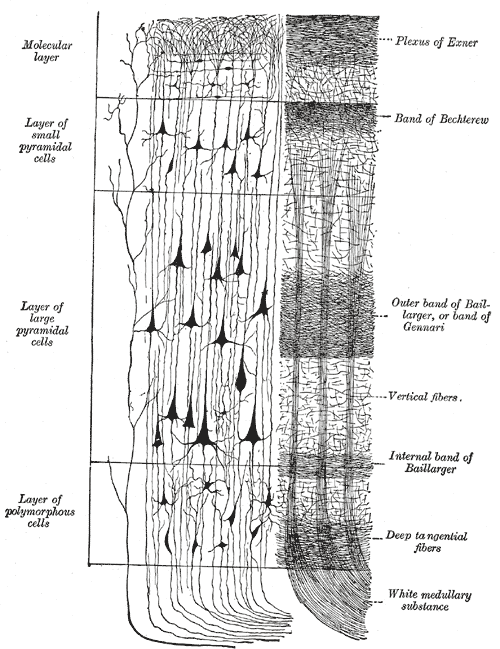 human brain cell diagram 2000 s10 blazer wiring neocortex - wikipedia