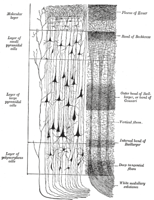 Neocortex  Wikipedia