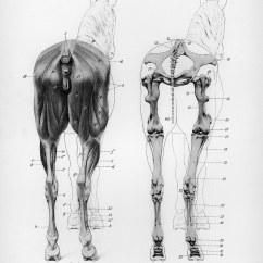 Horse Muscle And Bone Diagram Electron Dot Boron File Anatomy Posterior View Jpg