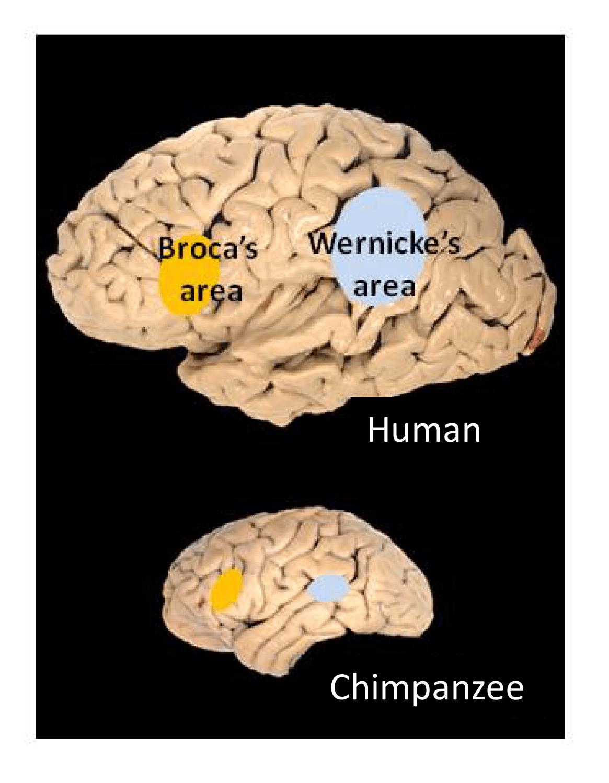 chimpanzee skull diagram honda xrm 110 wiring download fitxer broca 39s and wernicke areas png viquipèdia l