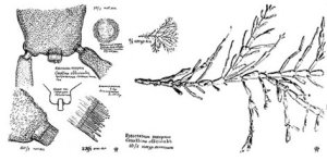 Corallina officinalis  Wikipedia