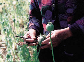 Traditional method of harvesting opium by hand...