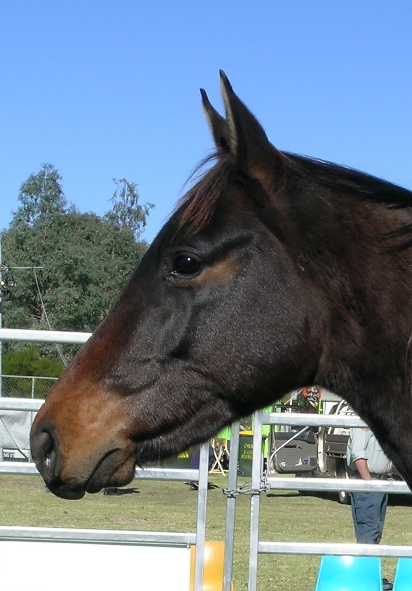 Horse With A Dog Mouth : horse, mouth, Brachygnathism, Wikipedia