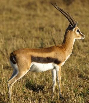 Gazelles  Wikiquote