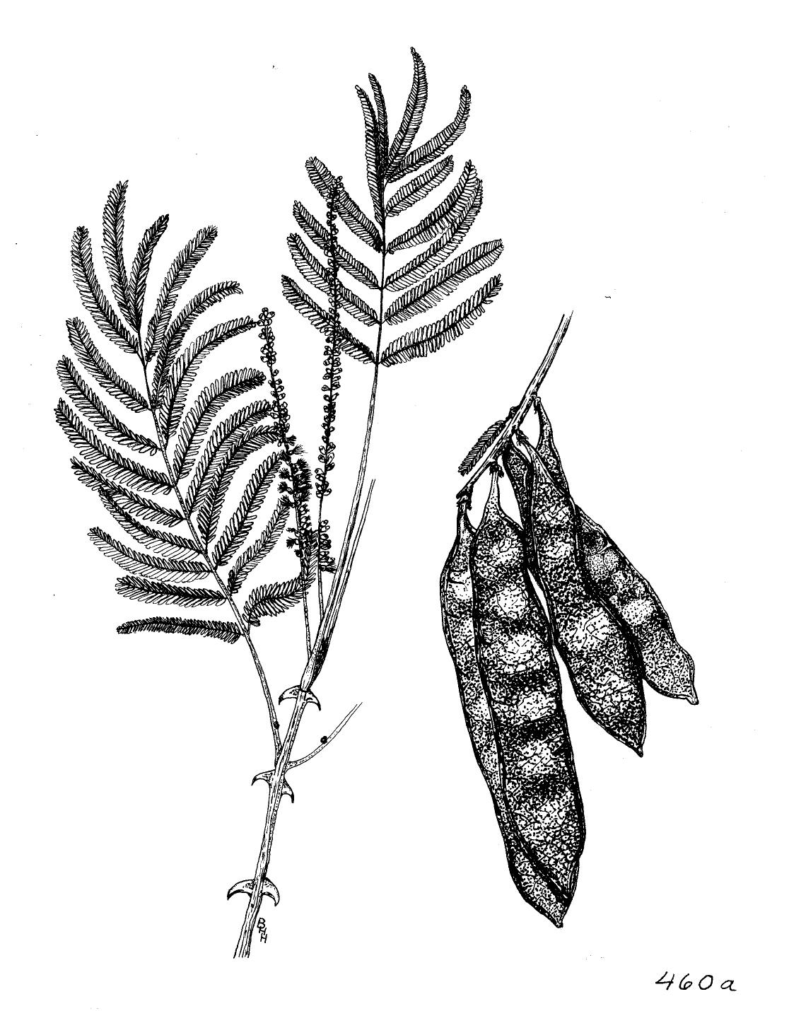 File Acacia Polycantha